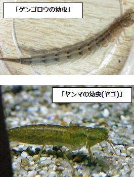 ソロモンの指輪[動物行動学入門];幼虫